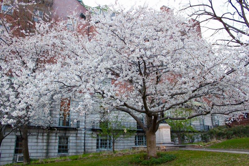 Bradford Pear Tree royaltyfri foto