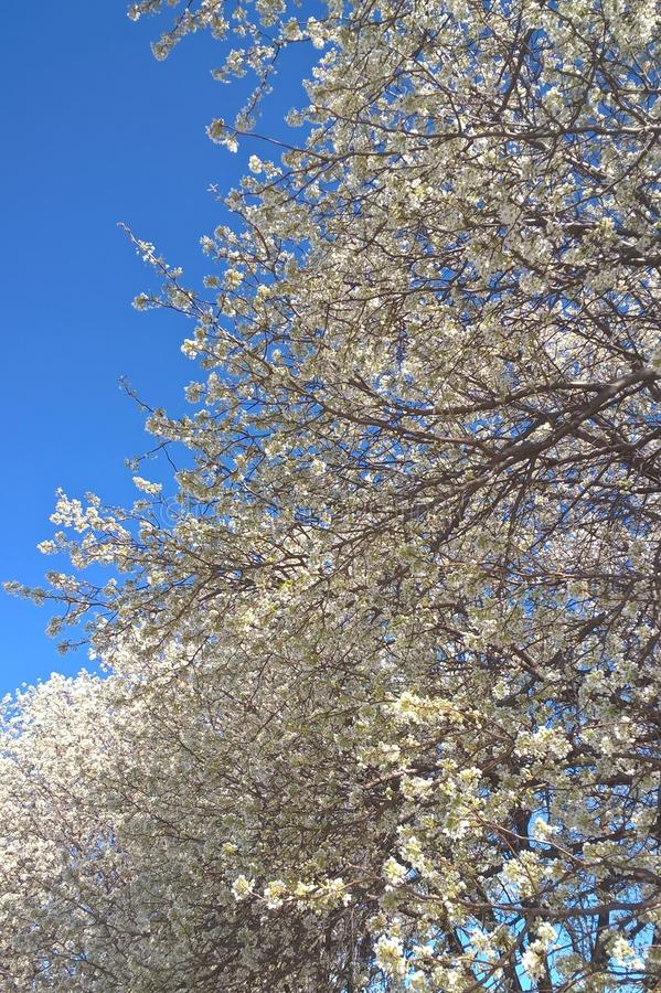 Download Bradford Pear Tree image stock. Image du aménagement - 87702707