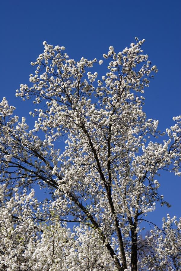 Bradford Pear Tree Blooms royalty free stock photo