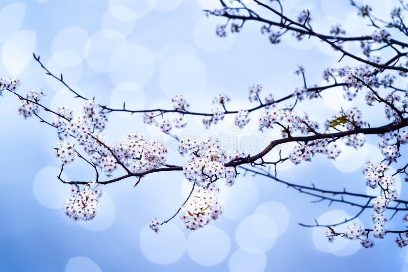 Bradford Pear Tree Branch images libres de droits
