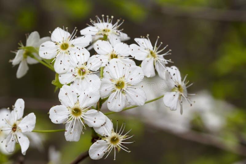 Bradford Pear Tree White Blossoms fotografia de stock