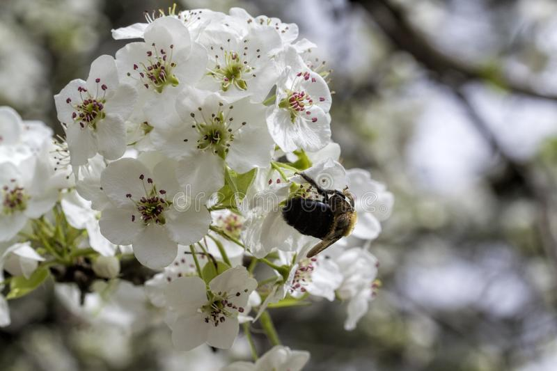 Bradford Pear Tree White Blossoms and Bumble Bee. These are the white spring blooms of the Bradford or Callery Pear Tree, Pyrus calleryana, a introduced invasive royalty free stock images