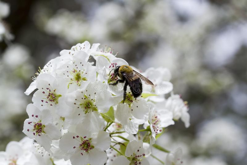 Bradford Pear Tree White Blossoms and Bumble Bee. These are the white spring blooms of the Bradford or Callery Pear Tree, Pyrus calleryana, a introduced invasive royalty free stock photo
