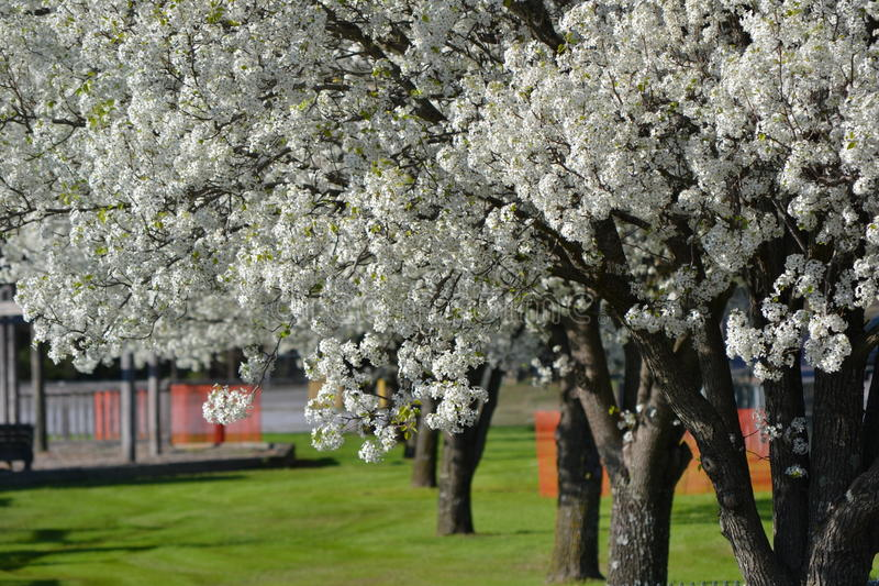 Bradford pear trees royalty free stock photo
