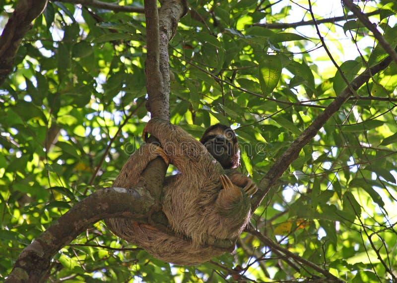 bradipo fotografia stock libera da diritti