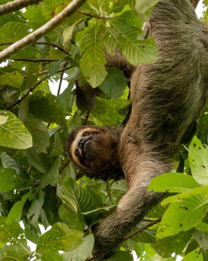 Bradipo in Costa Rica immagine stock