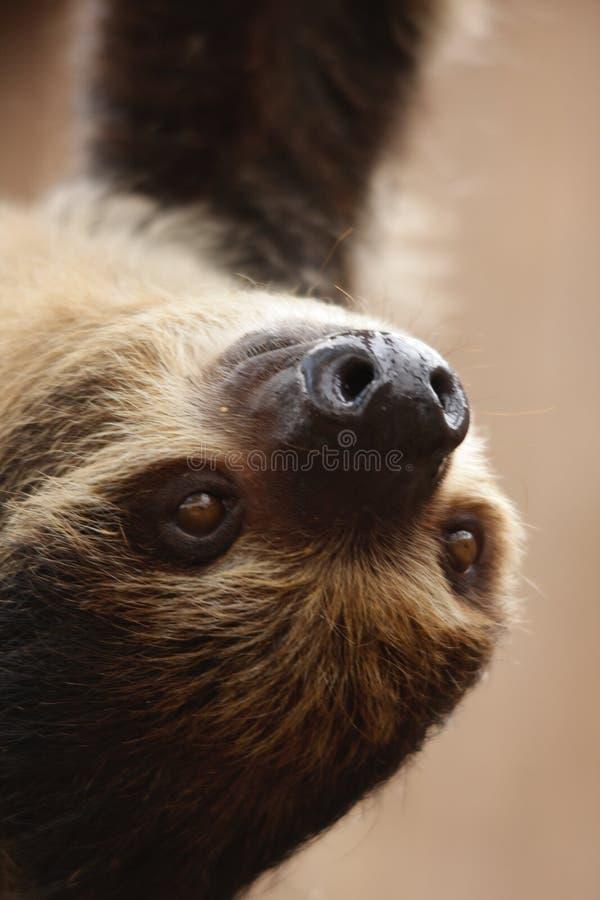 bradipo Due-piantato fotografie stock