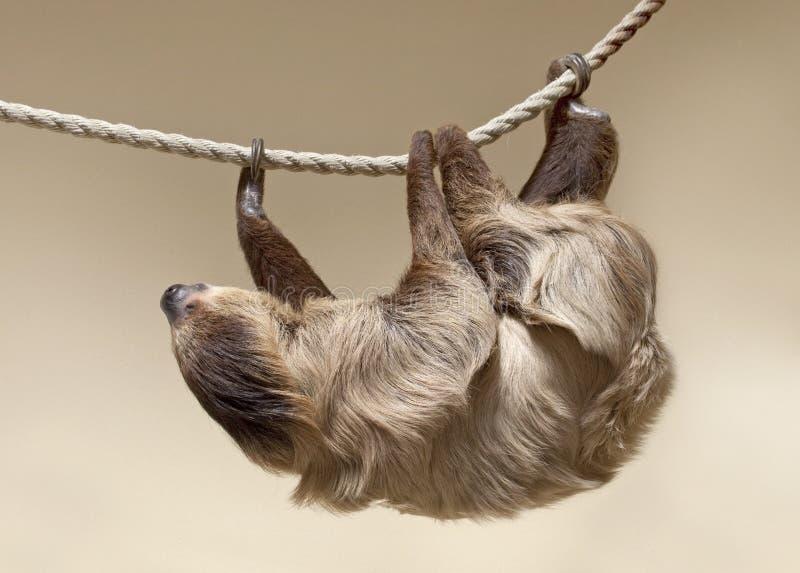 bradipo Due-piantato immagini stock