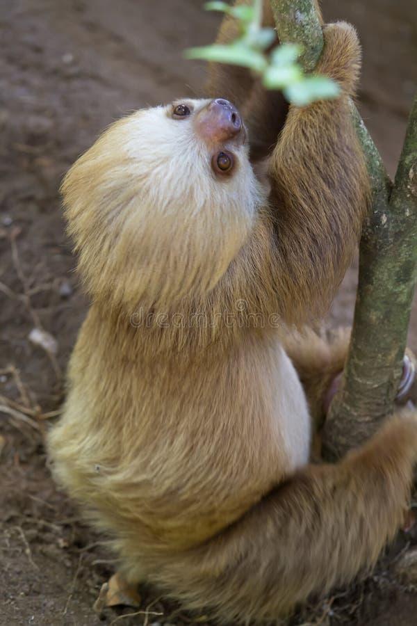 bradipo Due-piantato fotografia stock