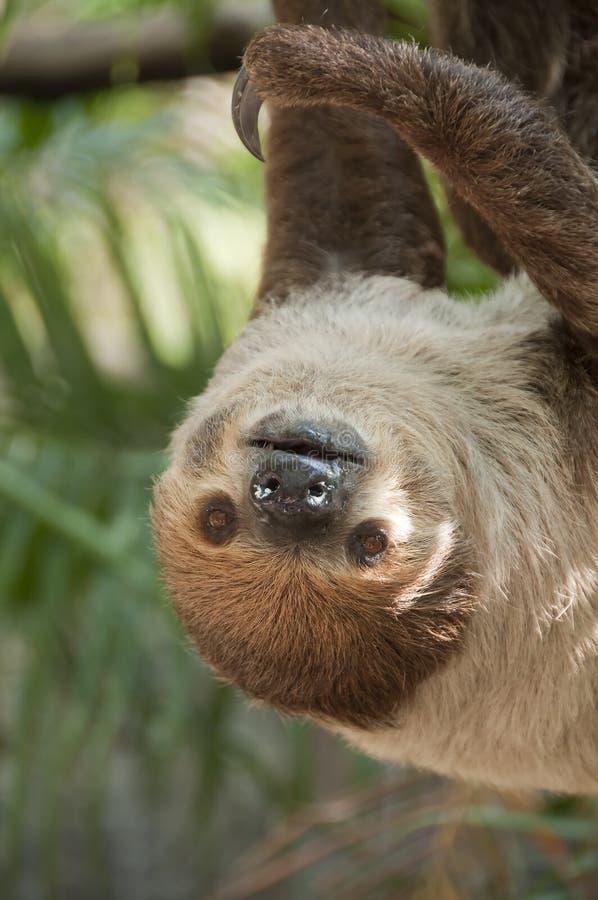 bradipo Due-piantato. fotografia stock