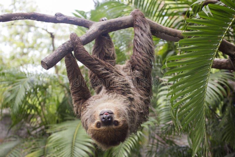 bradipo Due-piantato immagini stock libere da diritti