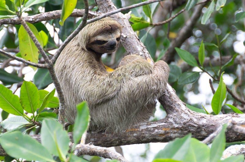 Bradipo nel del Toro, Panama di Bocas immagini stock libere da diritti