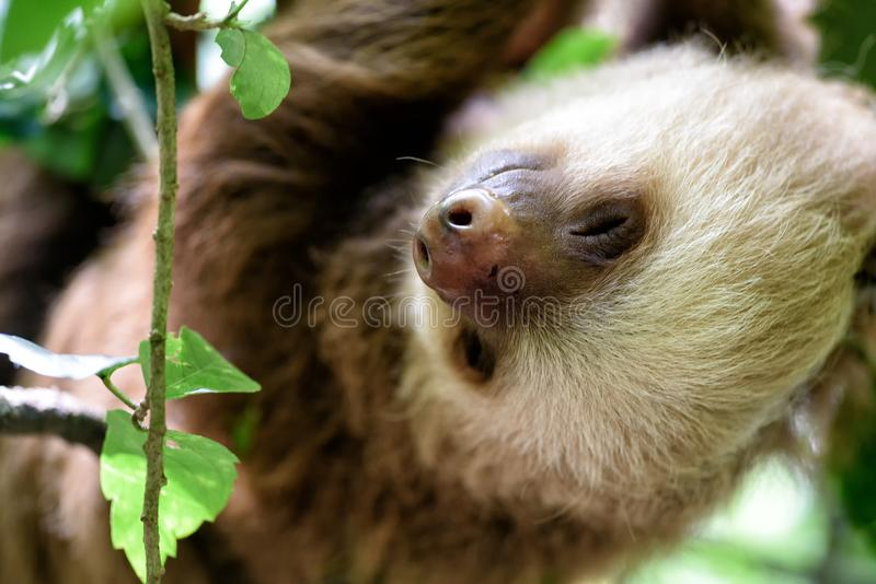 Bradipo nella giungla di Costa Rica fotografie stock libere da diritti