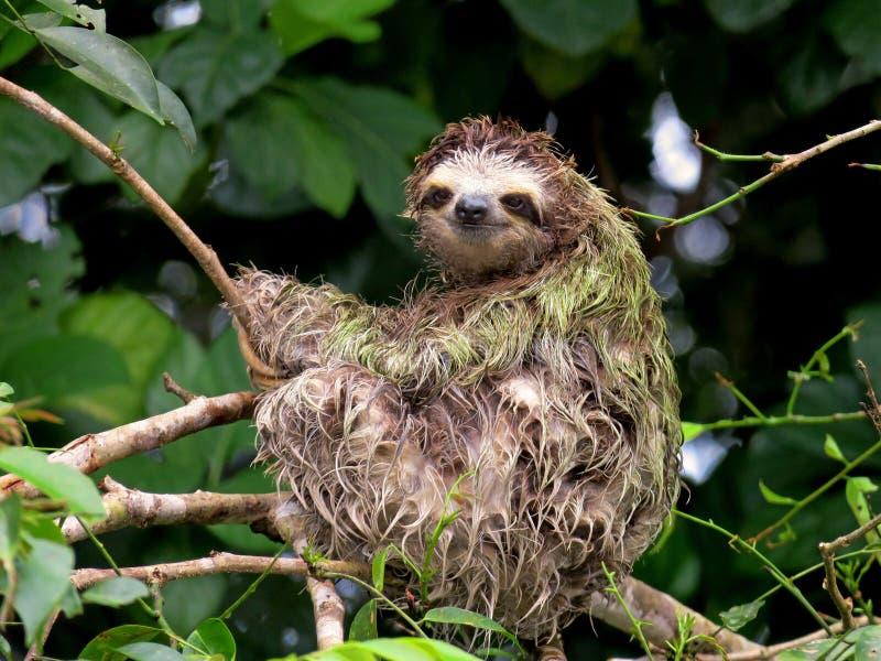 Bradipo piantato 3 Fauna selvatica delle giungle di Costa Rica fotografia stock libera da diritti