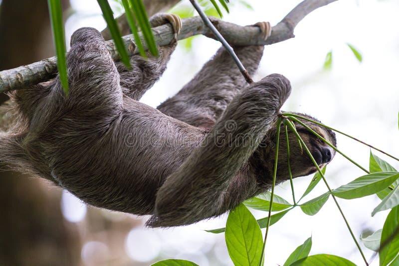 Bradipo piantato tre in Costa Rica fotografia stock