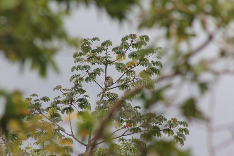 Bradipo sull'albero di cecropia immagine stock