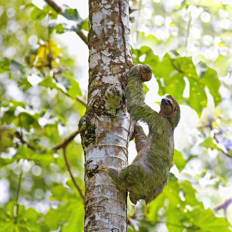 bradipo Tre-piantato fotografia stock libera da diritti