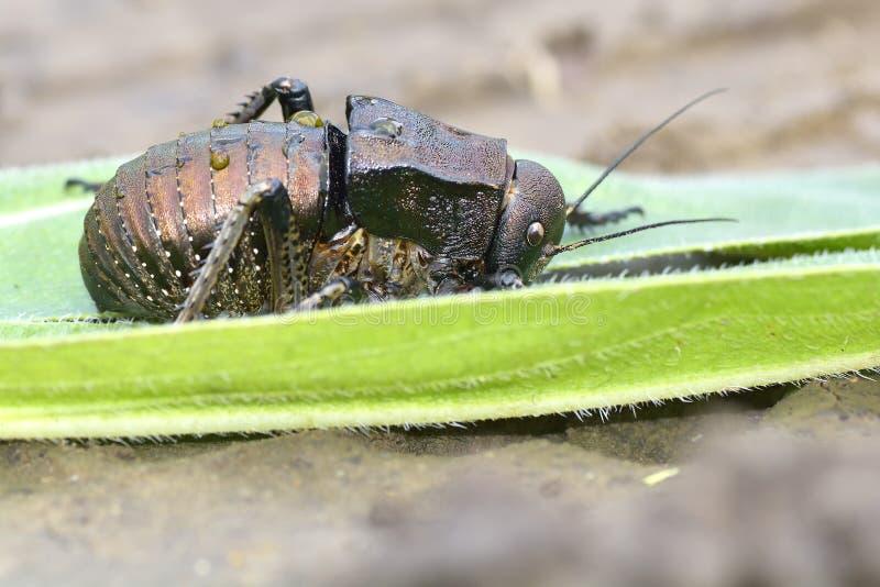 A Bradyporus dasypus, biggest cricket. The Bradyporus dasypus, biggest cricket stock photo