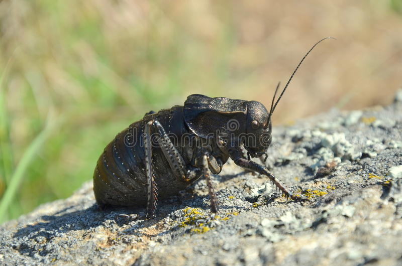 Bradyporus dasypus. (bush cricket), Macin Mountains stock photo