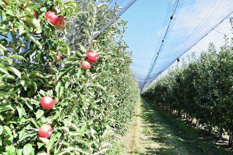 Braeburn和Idared苹果树在秋天 库存照片