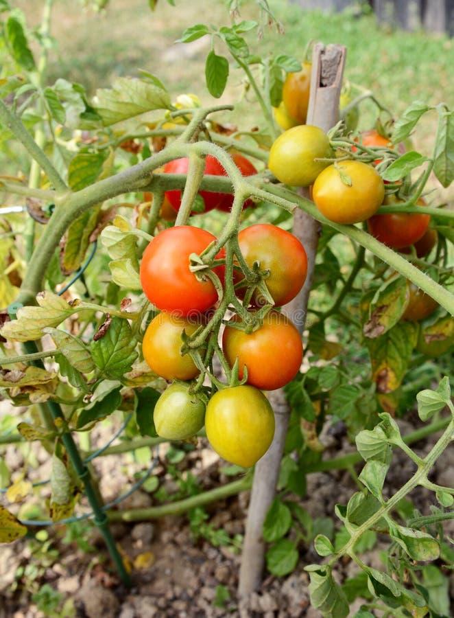 Braguero de la planta de tomate con la fruta verde, amarilla y roja fotos de archivo