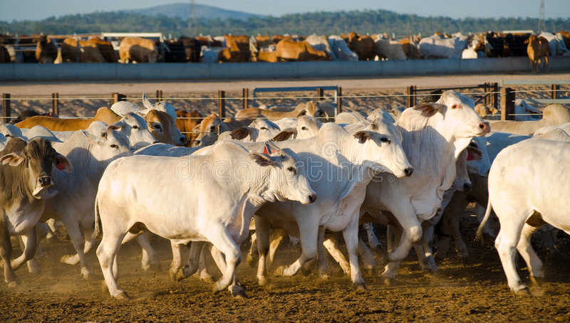 Brahaman cattle in a feedlot. Cattle running in a feedlot stock photos