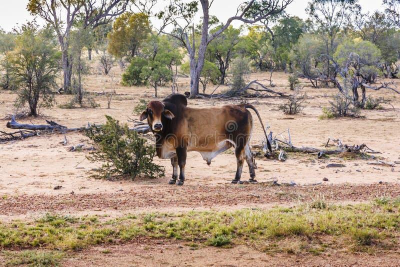Brahma Bull no interior Qoeensland, Austrália foto de stock