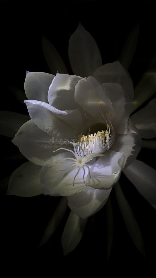 Brahma Kamala - Saussurea-obvallata stock fotografie