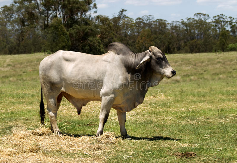 Brahman bull. A brahman bull bred as a stud bull for beef cattle royalty free stock image