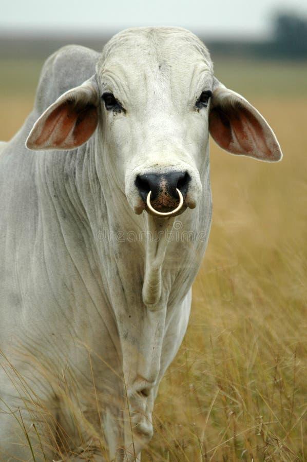 Brahman bull stock photography