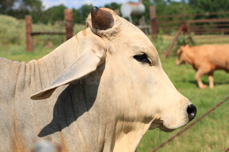 Brahman Bull - vista lateral imagens de stock royalty free