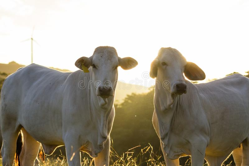 Brahman cattle - Bos Indicus. Pasture raised brahman cattle in Guanacaste Costa Rica royalty free stock photography