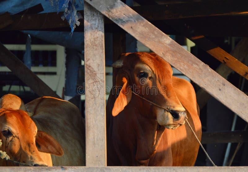 Brahman cattle in byre. Brahman cattle in the byre stock photo
