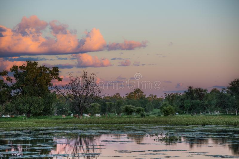Brahman Cattle graze in the reflection of a sunset. Brahman cattle grazing in the setting sun of the Australian outback during the wet season. The sunset has stock photo