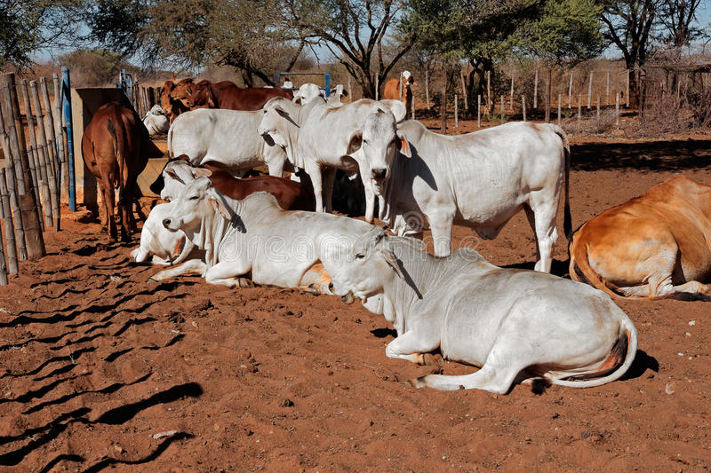 Brahman cattle royalty free stock photo