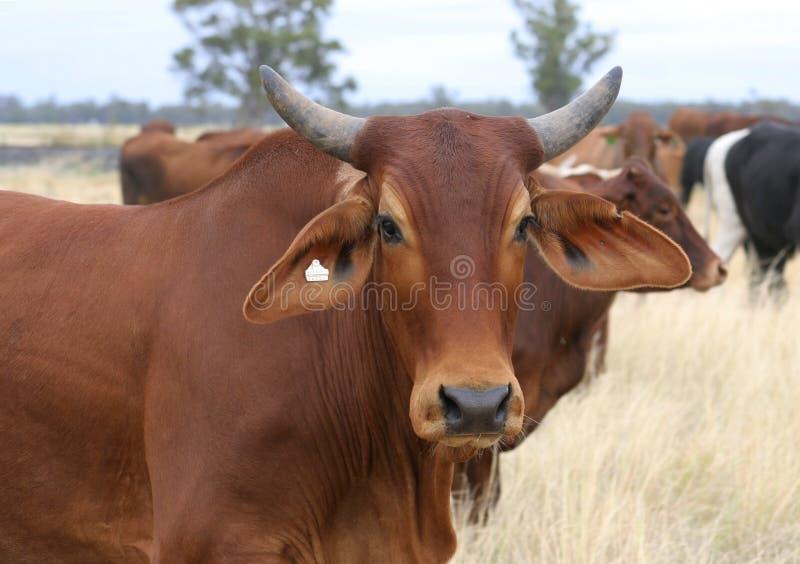 Download Brahman steer stock photo. Image of drover, bullock, horns - 9056382