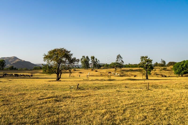 Brahman or Zebu bulls near the Blue Nile falls, Tis-Isat in Ethiopia. Brahman or Zebu bulls near the Blue Nile falls, Tis-Isat Falls, meaning great smoke in royalty free stock images