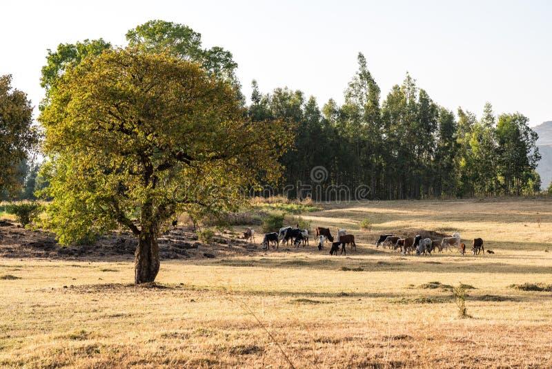 Brahman or Zebu bulls near the Blue Nile falls, Tis-Isat, Ethiopia, Africa. Brahman or Zebu bulls near the Blue Nile falls, Tis-Isat Falls, meaning great smoke royalty free stock photography
