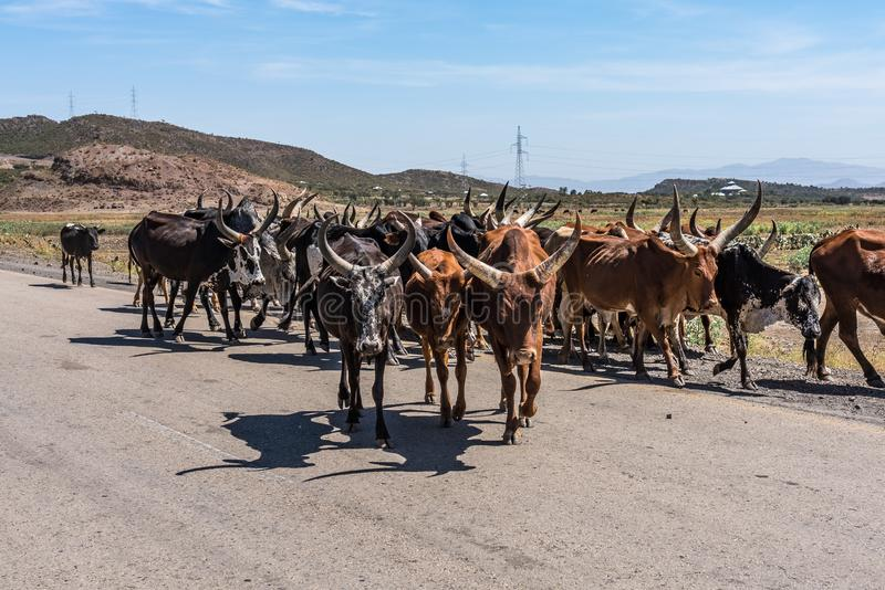 Brahman or Zebu bulls on the road to Gheralta in Tigray, Ethiopia. Brahman or Zebu bulls on the road to Gheralta in Tigray, Northern Ethiopia royalty free stock photography