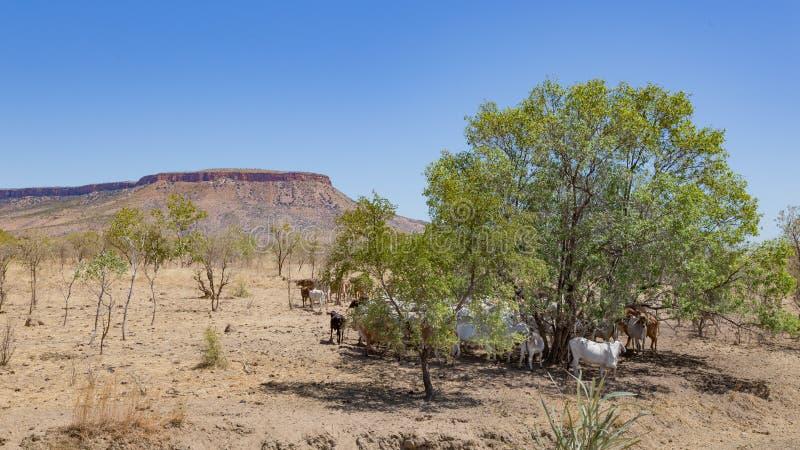 Brahmannötkreatur i Kimberleyen royaltyfri bild