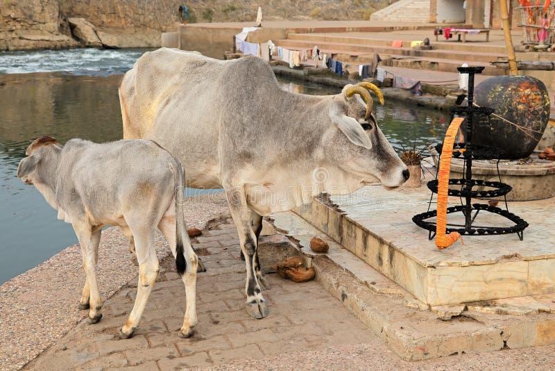 Brahmannötkreatur - Indien arkivfoton
