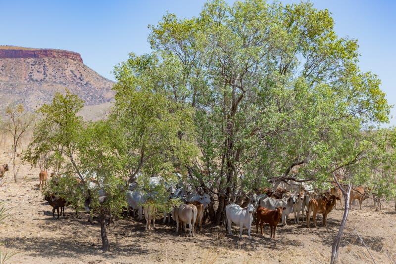 Brahmannötkreatur som vilar i skugga på foten av det Cockburn området, station för El Questro arkivfoton