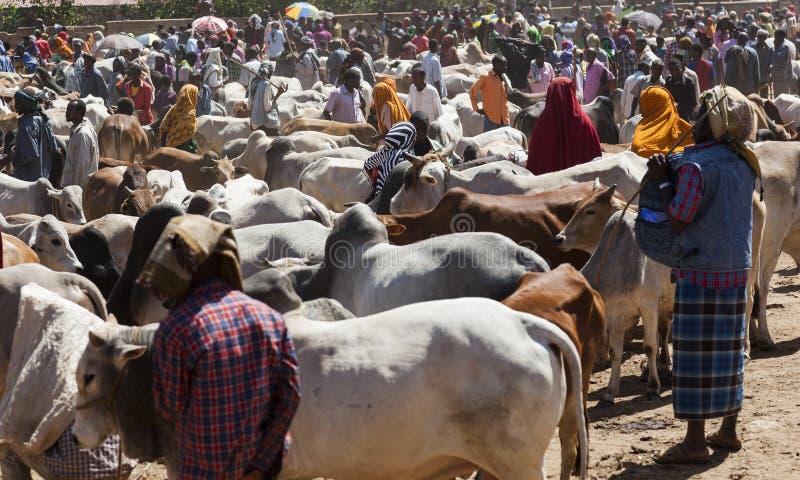 Brahmantjur, Zebu och annat nötkreatur på en av den största boskapmarknaden i hornet av Afrika länder Babile ethiopia royaltyfria bilder