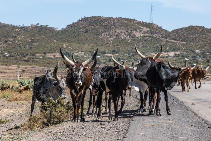 Brahmanu lub Zebu byki na drodze Gheralta w Tigray, Etiopia zdjęcie royalty free