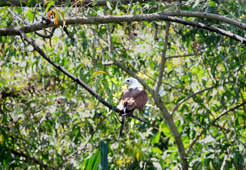Brahmin Eagle. Of India, perched on the tree stock photography