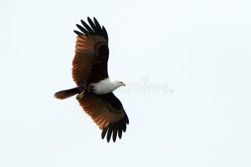 Brahmin kite, Langkawi, Malaysia. Brahmin kite is the symbol of Langkawi royalty free stock photography