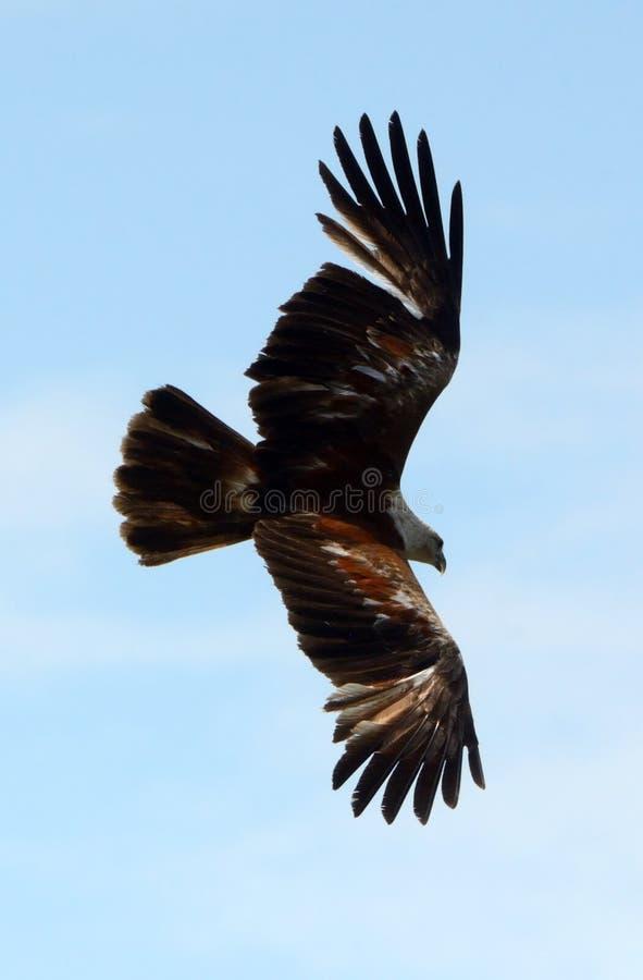 Brahmin kite, Langkawi, Malaysia. Brahmin kite is the symbol of Langkawi stock photography