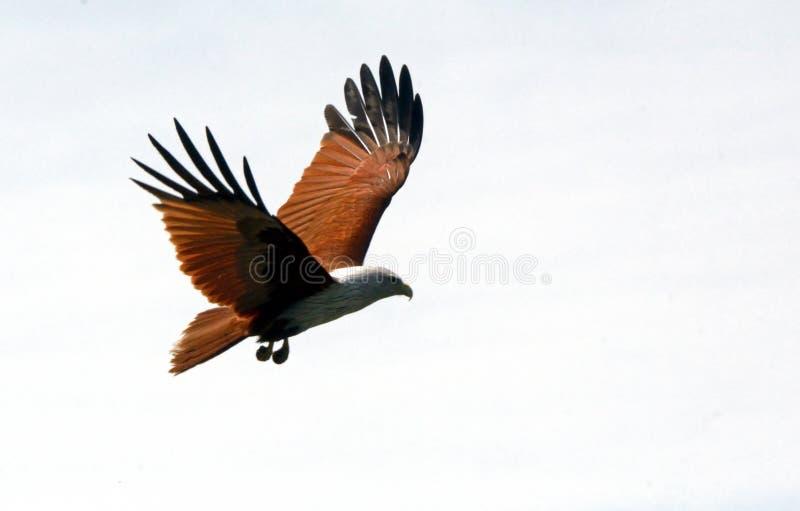 Brahmin kite, Langkawi, Malaysia. Brahmin kite is the symbol of Langkawi stock image