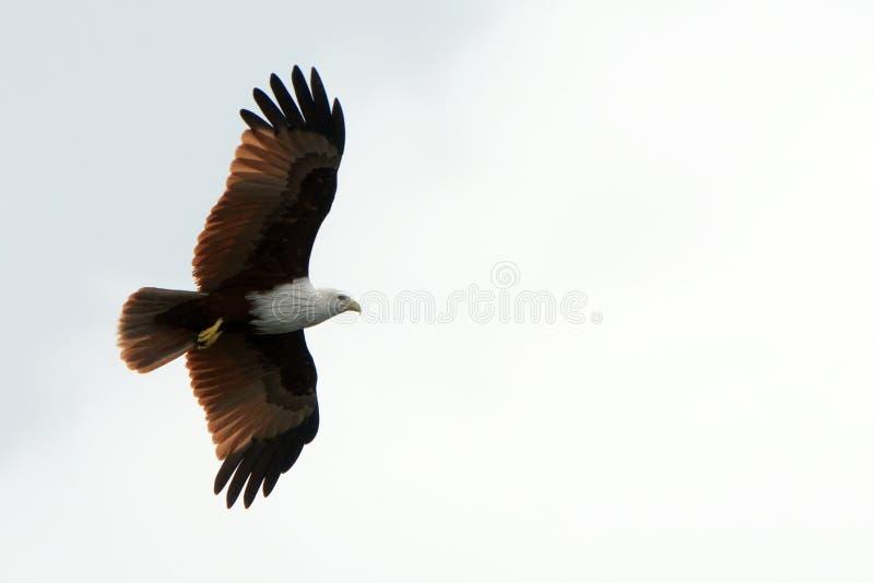 Brahmin kite, Langkawi, Malaysia. Brahmin kite is the symbol of Langkawi royalty free stock image