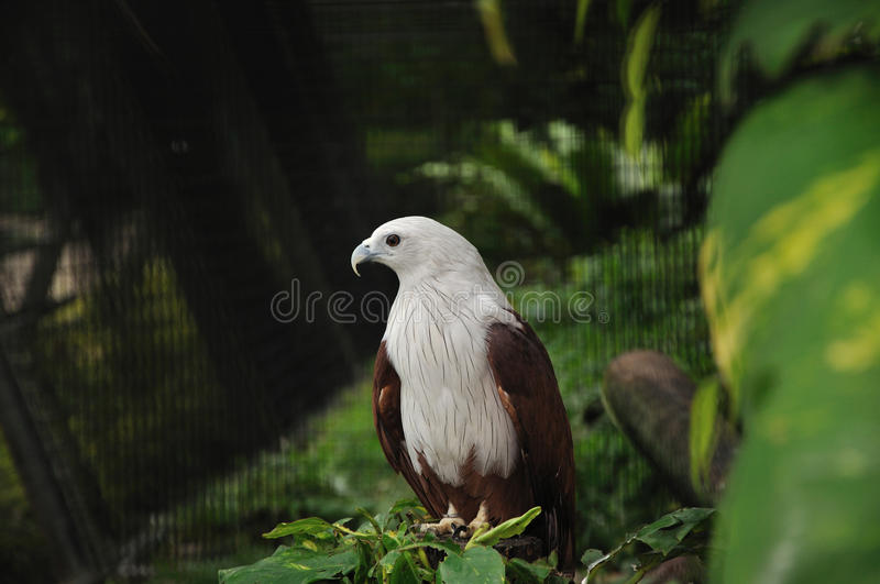 Brahminy Kite. (Haliastur Indus) - Considered sacred in India, these kites are well known for their snatching abilities, like catching insects in mid-air & royalty free stock photos